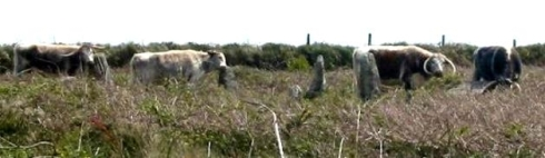 Tregeseal Longhorns
