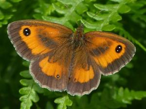 The Gatekeeper, Pyronia tithonus. Like landowners, blissfully unaware that bad metal detecting practice has absolutely nothing to do with nighthawking.