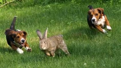 It's no longer legal to do it to hares so they've switched to rabbits.