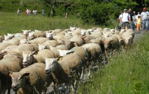 carnac sheep
